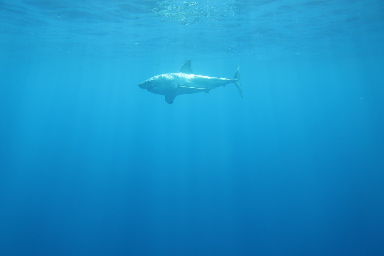 requin blanc A2
