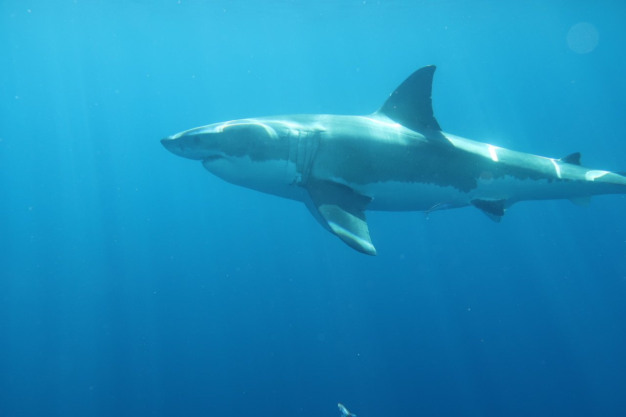 requin reflet A2