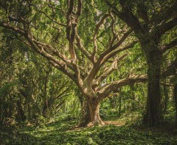 Les plantes sacrées des druides & druidesses