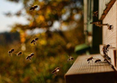 Les sons des abeilles